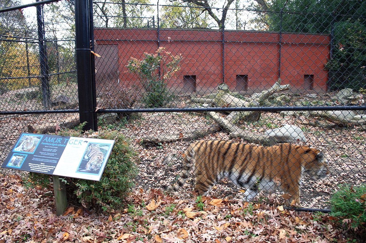 tiger enclosure Beardsley zoo