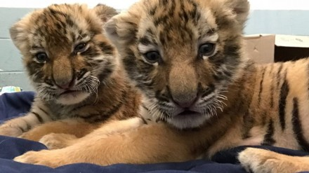 tiger cubs up close