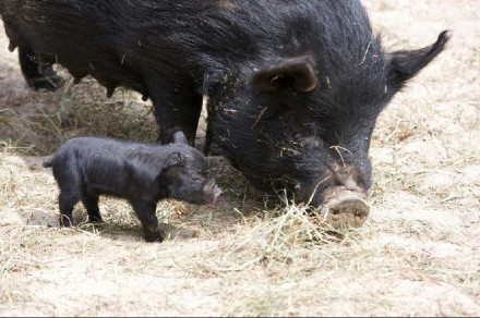 Olivia and one of her eight piglets at Connecticut's Beardsley Zoo