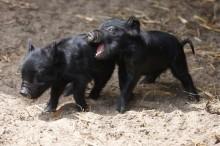 Newborn guinea hog piglets at play at Connecticut's Beardsley Zoo